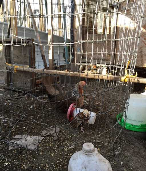 SUBMITTED PHOTO - Investigators found more than 1,600 chickens believed to be used for cockfighting in a rural compound of buildings located near Aloha.