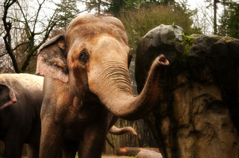 COURTESY: MICHAEL DURHAM/OREGON ZOO - Asian elephant Tusko, 44, spent the past 10 years at the Oregon Zoo.