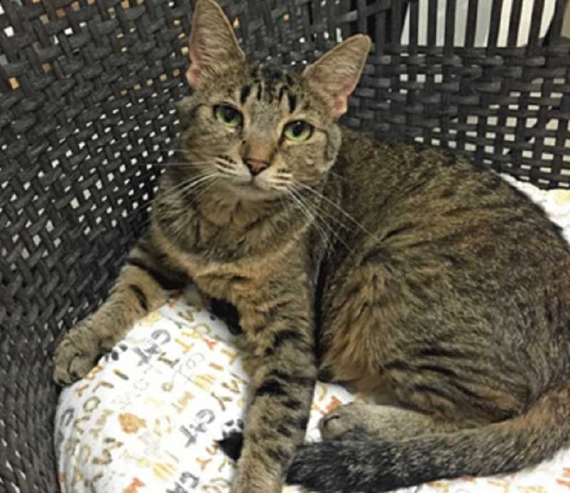 Lacey, a 6-year-old domestic short-hair spent nearly her entire life in animal shelters before she was adopted on Sunday by a Beaverton woman, according to Cat Adoption Team.