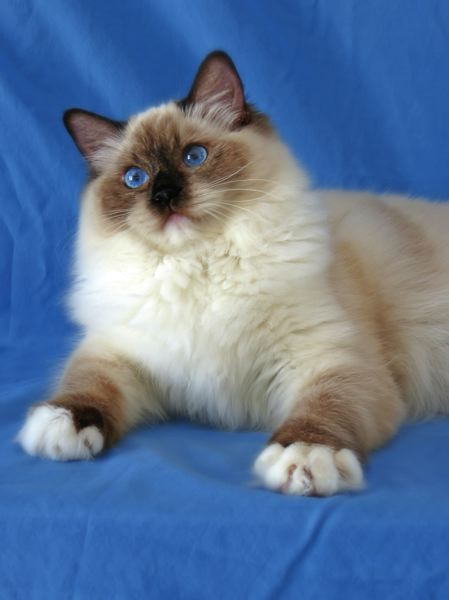 COURTESY PHOTO: INTERNATIONAL CAT SHOW - Some of the breeds of cats that will be at the International Cat Show are the seal-mitted Ragdoll, the Bengal and the Lykoi, the Werewolf Cat.