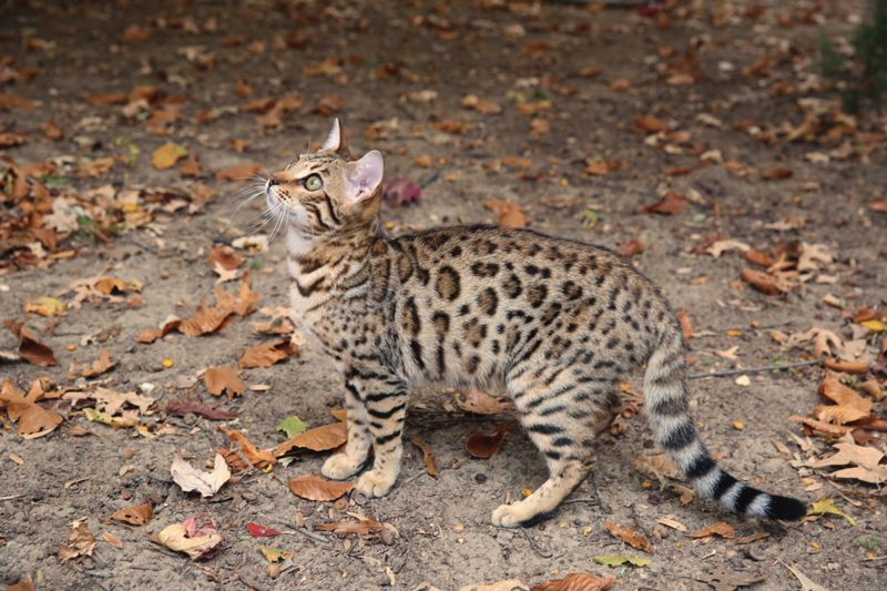 COURTESY PHOTO: INTERNATIONAL CAT SHOW - Some of the breeds of cats that will be at the International Cat Show are the Bengal.