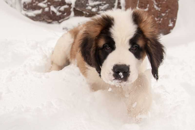 OUTLOOK PHOTO: JOSH KULLA - At 11 weeks old, Heidi is the most recent St. Bernard to join the staff at Timberline Lodge. She joins four-year-old Bruno as a greeter and ambassador for the lodge.