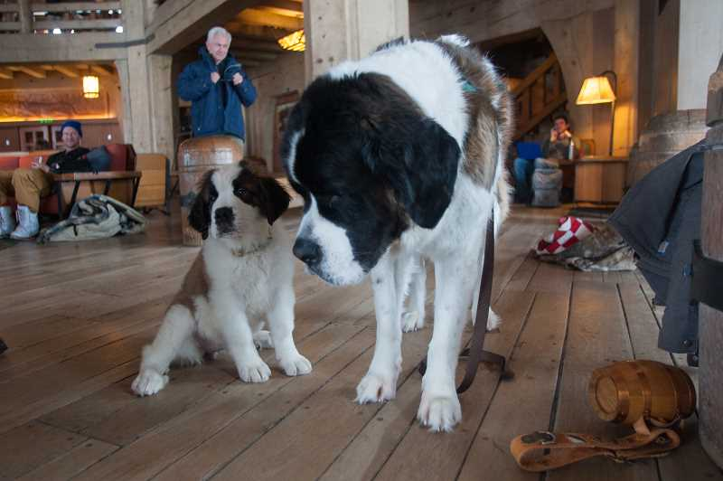 OUTLOOK PHOTO: JOSH KULLA - Heidi (left) and Bruno spend their days at Timberline Lodge greeting guests and spreading goodwill in the historic lodge on Mount Hood.