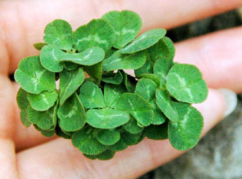 Shamrocks traditionally have three leaves and those with four leaves are considered lucky. This shamrock has 56 leaves, making it 14 times as lucky as one with four leaves.