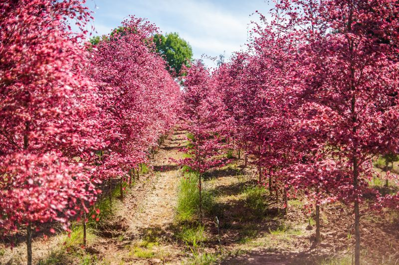 POST PHOTO: JOSH KULLA - A field of tri-color beech trees bloom at Parks Nursery along Southeast 282nd Avenue in Gresham. Oregon's nursery industry is rebounding from the 2008-10 recession that knocked many farmers out of business.