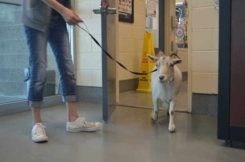 BONNIE HAYS - Daisy, a goat, was reunited with her owners on Monday after wandering away from her Tigard home.