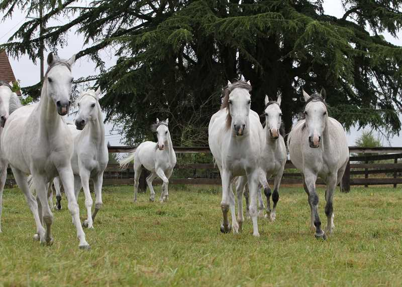 SUBMITTED PHOTOS: DEE DEE MURRAY - Before opening in Portland on July 7, the four-legged stars of 'Odysseo' relaxed on a farm in Ridgefield, Wash.