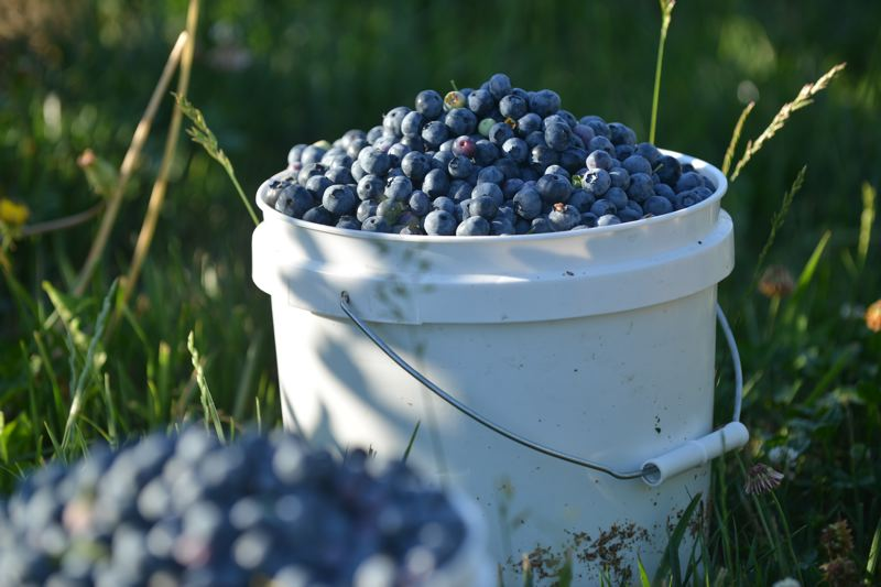 COURTESY PHOTO - This bucket of blues is overflowing with antioxidants.