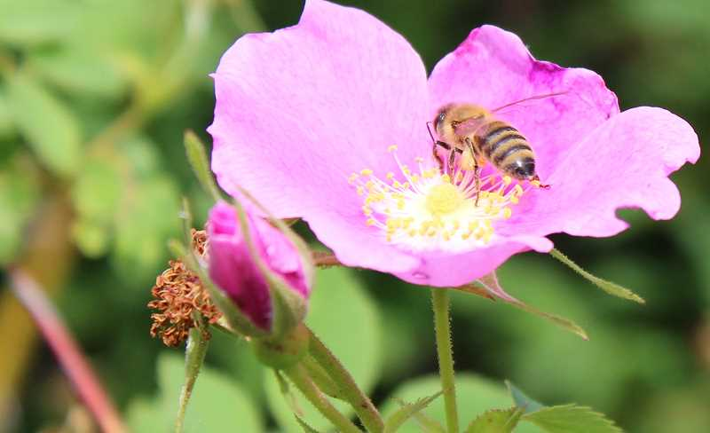 SPOKESMAN PHOTO: LESLIE PUGMIRE HOLE - Even a few plants in your yard can create a pollinator habitat, say experts. Encouraging awareness of the importance of pollinators is part of Wilsonvilles Bee Steward Program.