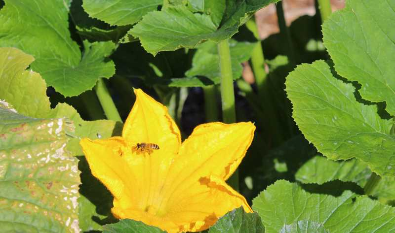 REVIEW PHOTO: JILLIAN DALEY - A bee buzzes around a squash blossom in the Hallinan Elementary School garden.
