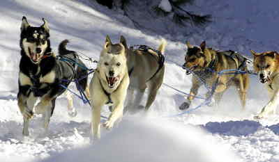 by: TIM STUMM/CENTRAL OREGONIAN - A team of dogs charge around a corner near the  40-mile mark of the fourth stage of the Atta Boy 300 sled dog race.  The stage started and ended at Walton Sno-Park.  The team of dogs are owned by Powell Butte resident Wes Rau.