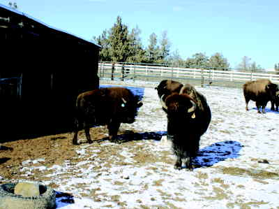 by: KEVIN GABOURY/CENTRAL OREGONIAN - Buffalo roam on Steve and Bev Oberg's Powell Butte ranch.