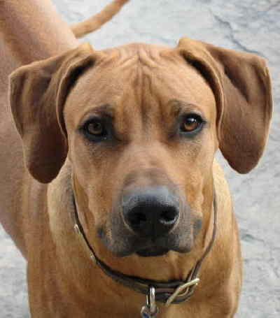 by: Photo Courtesy of DEBBIE WHALEY - Zuma, an eight-month-old Rhodesian Ridgeback belong to Debbie Whaley of Prineville, was shot and killed by a neighbor in October 2007.