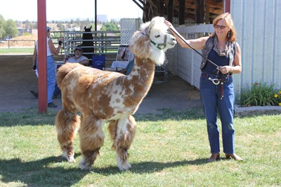"by: Photo By Susan Matheny - Amy Prutzman of Bend, leads around ""Quasar,"" a male llama belonging to Jim and Adrienne Parker. Prutzman, who recently became a llama owner, is learning how to care for them."