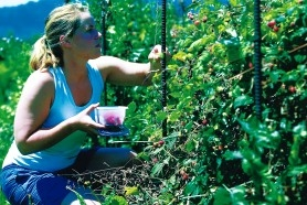 by: CHRISTOPHER ONSTOTT, Sara Schmitt picks raspberries growing on her community garden plot at Reed College.  