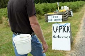 by: John Klicker, Phil Van Hise of Boring's Orient Nursery runs a u-pick blueberry field every summer.
