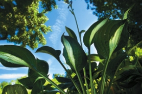 by: David Plechl, Hostas are great summer plants, provided they have plenty of shade. The thick-leaved varieties are resistant to slugs, while the flowers are a magnet for  hummingbirds.
