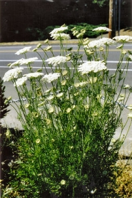 by: Rita A. Leonard, Wild Queen Anne's Lace flowers are common along the roadsides of Inner Southeast Portland.