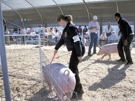 by: Courtesy Photo, Some pig! Abby Corliss of the Forest Grove High School FFA program shows her market hog last weekend at the Washington County Fair. The annual event, held at the fairgrounds in Hillsboro, drew thousands of folks during its four-day run.
