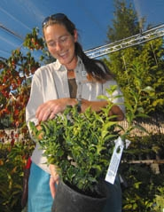 by: VERN UYETAKE, Nicole Forbes shows a Sarcococca plant at Dennis' Seven Dees Nursery in Lake Oswego. The garden center has dedicated an entire outdoor area to autumn plants that add scent and new colors to the garden.