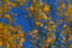 by: DENISE FARWELL, Willowleaf eucalyptus contrasts nicely with autumn foliage and lasts in the garden though the fall.