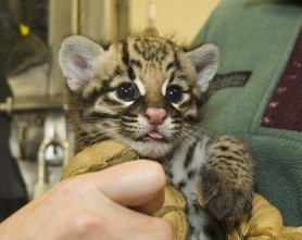 by: Courtesy of, The Oregon Zoo on Thursday announced the birth of an ocelot kitten in captivity last month. The zoo is part of a national effort to revive the endangered species.