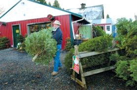 by: Carole Archer, Jim Wambaugh, owner of Oxbow Rim Tree Farm carries a 71/2 foot Grand Fir tree to the shaker and baling machines for processing. the shaker removes bugs and old needles.  The Baling machine ties up the tree for easy transport and at the pull of a string easy display inside the home.