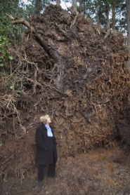 by: Vern Uyetake, Westlake-area resident Nancy Werncke examines the root ball of two large trees that came down in her backyard on Vermeer Drive last Thursday during a storm that blew through the area.