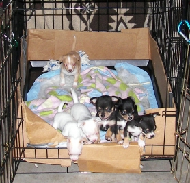 by: contributed photo, The six Chihuahua puppies recently born into the Johnson family have definitely made things more exciting, Tracy Johnson said.
