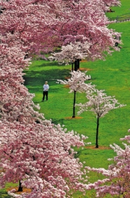 by: L.E. Baskow, The Akebono Cherry Trees along Gov. Tom McCall Waterfront Park show their blossoms. The trees, planted in the 1970s, entice visitors to enjoy the art of hanami, the Japanese tradition of cherry blossom viewing. The trees were chosen as a link to the Japanese American Historical Plaza within the park.