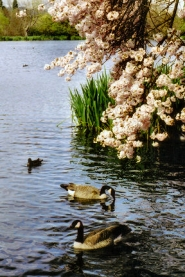 by: Rita A. Leonard, Canada geese court beneath pink blossoms, at Crystal Springs Rhododendron Gardens.