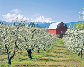by: ©2007 PETER MARBACH, In the gorge, blooms spring forth with Mount Hood as a backdrop. This weekend, orchardists welcome visitors to the Fruit Loop to make a trip, or a weekend, of it.