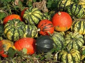 by: , Squashes come in all shapes, sizes and colors and are now coming into their own locally. The flesh ranges in color from golden-yellow to brilliant orange. Most winter squash grow on vines and become fully mature after cool weather sets in.