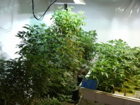 by: COURTESY OF MCSO, Police officers say they are seeing an increase in home invasions of medical marijuana growers.