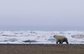 by: Courtesy of Gary Braasch ©, A polar bear on Cooper Island near Barrow, Alaska, heads toward the broken pack ice in August. Polar bears are ice