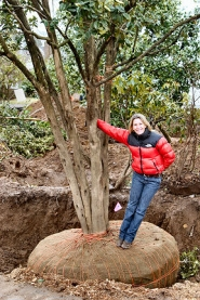 "by: David F.  Ashton, Shannon Quimby, the ""Q-Renew"" star from television's HGTV network, stands by a camellia tree's root ball before it is moved 22 feet northward. She says moving it fits with her ""reuse everything"" philosophy – and saves money as well."