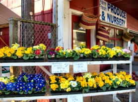 by: Rita A. Leonard, Colorful primroses welcome shoppers to Berry Good Produce & Nursery.