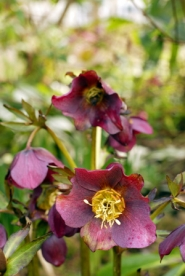 by: L.E. BASKOW, Hellebores grown from seed 20 years ago have crossed with each other to create a rainbow of tints to go with the rains of March.