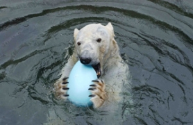 by: COURTESY OF THE OREGON ZOO, The Easter Bunny even remembers polar bears at the Oregon Zoo, who will get treats and toys this holiday weekend.