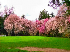 by: Rita A. Leonard, Pink flowering trees soften a backdrop at the city-owned, public Eastmoreland Golf Course.