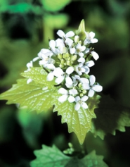 by: File photo, More than a half-dozen agencies have combined forces to surround the noxious weed known as garlic mustard, which is about to rear its deceptively attractive head in the Corbett area.