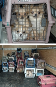 by: , Three of the 150 Chihuahuas were in a pet carrier as they were taken from a Gaston-area home Thursday.