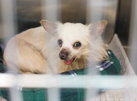 by: Chase Allgood, Bonnie Hays Small Animal Shelter in Hillsboro is now home to 141 dogs seized from a Gaston-area home last Friday. In time, many will be adopted out, even this Chihuahua, which was born without a lower jaw.