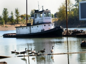 by: JIM CLARK, Canada geese make themselves at home in the lagoon at Swan Island on the Willamette River. Some letter writers say that economic uses of the waterfront must receive consideration, along with environmental restoration.