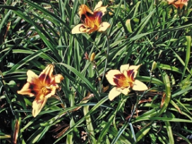 "by: Barbara Blossom Ashmun, ""Party Array"" daylily is part of a new planting for next summer's improved border."