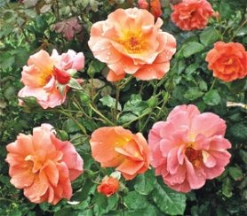 by: Courtesy photo, I first coveted Westerland rose when I saw it bloom at Heirloom Roses; now three shrubs adorn my own garden.