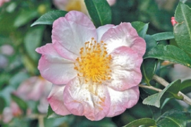 "by: Courtesy of Monrovia Nursery, Fall and winter color is yours to enjoy if you plant an ""Apple Blossom"" camellia."