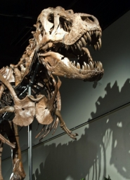 by: COURTESY OF OMSI, OMSI will feature Samson: The Colossal T Rex, OMSI, Dec. 17-Aug. 31.