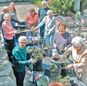 by: Courtesy of Pat Hershey, The Chrysanthemum Club has a potting party at Courtyard Village.