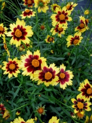 "by: Courtesy of Skagit Gardens Inc., I can't wait to try the new ""Cosmic Eye"" coreopsis for its vibrant colors and long bloom period."